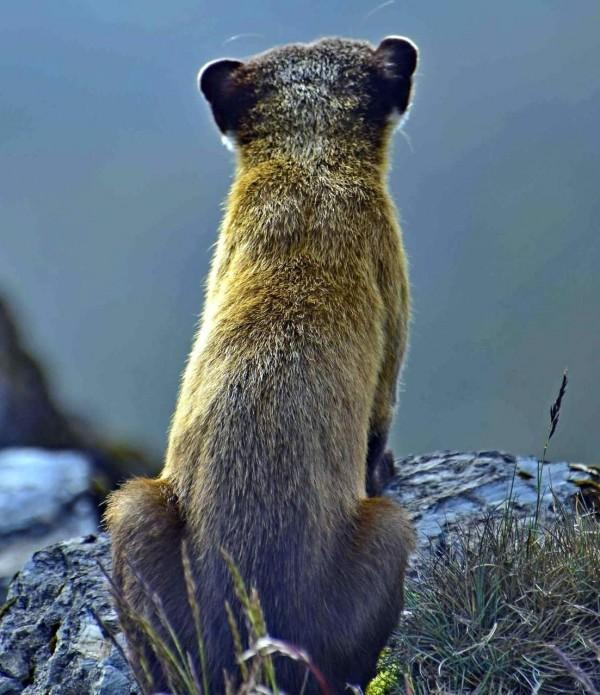保育類動物黃喉貂,好像在學習玉山北峰氣象站人員觀察天氣情形。(記者謝介裕翻攝)