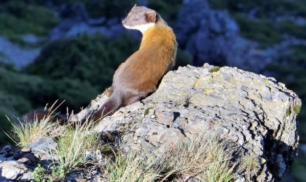 保育類動物黃喉貂在玉山北峰山崖迎接晨曦情形。(記者謝介裕翻攝)