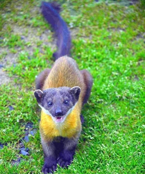 保育類動物黃喉貂模樣相當可愛。(記者謝介裕翻攝)