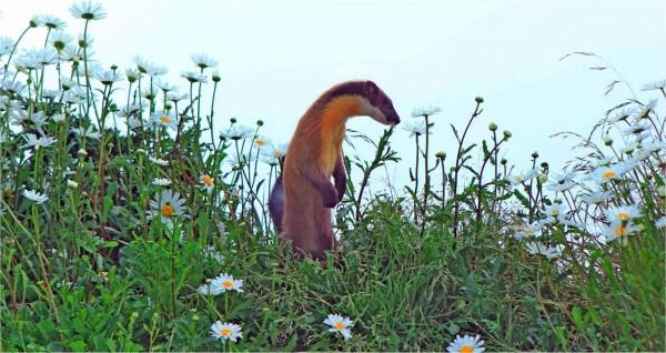 保育類動物黃喉貂在玉山北峰賞花的可愛模樣。(記者謝介裕翻攝)