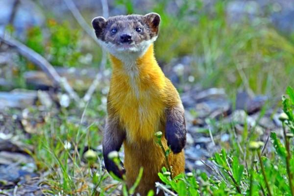 保育類動物黃喉貂伸頸仰望,像似在與玉山北峰氣象站人員打招呼。(記者謝介裕翻攝)