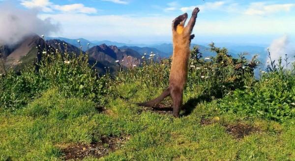 保育類動物黃喉貂抬頭仰望又作出舉手姿勢,像似在與玉山北峰氣象站人員打招呼。(記者謝介裕翻攝)