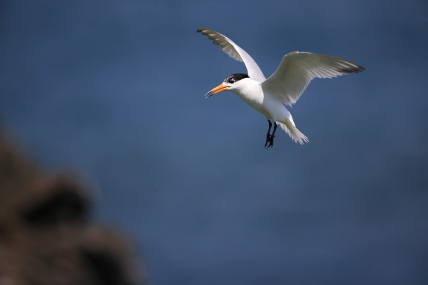 澎湖發現黑嘴端鳳頭燕鷗後,燕鷗種類增加為7種。(圖由澎湖縣政府農漁局提供)