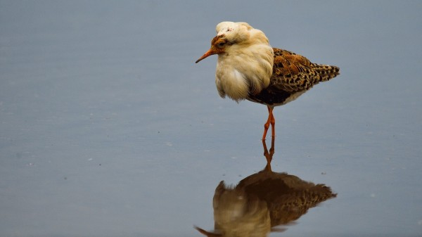 流蘇鷸雄鳥的華麗繁殖羽,猶如盛裝的王公貴族。(圖由陳姓鳥友提供)