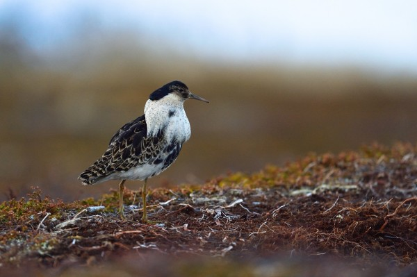 流蘇鷸雄鳥的繁殖羽。(圖由陳姓鳥友提供)