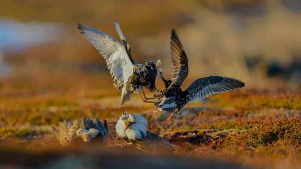 在北歐繁殖地的流蘇鷸求偶畫面。(圖由陳姓鳥友提供)