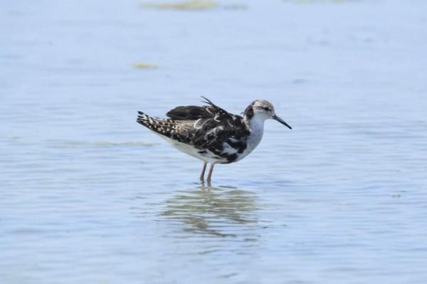 過境台南的流蘇鷸,後頸部還留有些許的繁殖羽。(圖由黃永豐提供)