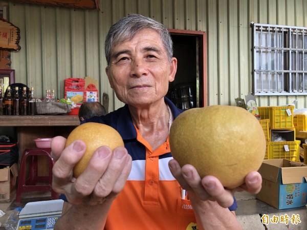 跟臉一樣大的水梨,三灣梨農賣出一箱就捐10元贈家扶。(記者蔡政珉攝)