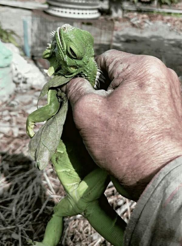 三爺溪一帶發現外來種綠鬃蜥出沒。(呂維胤提供)