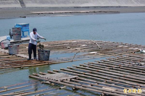 南市將自明年10月起開始執行蚵棚強制保麗龍浮具套網或包覆塑膠PE材質。(記者蔡文居攝)