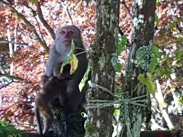 太平山獼猴數量不少,圖為猴媽媽帶著小猴子的萌樣。(擷取自太平山臉書粉絲專頁)