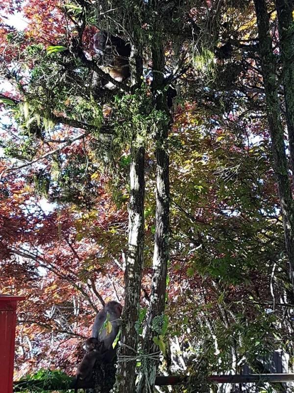 獼猴躲在大樹下乘涼。(擷取自太平山臉書粉絲專頁)