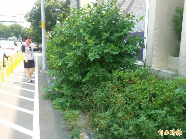 竹北市民代表楊瑞蘭說,竹北車站站區人行道旁雜草叢生,宛如無人管理維護。(記者廖雪茹攝)