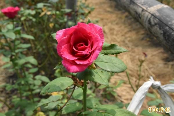 虎尾休閒自助式玫瑰花園栽種各種不一樣品種玫瑰。(記者黃淑莉攝)