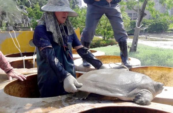 豐樂公園水池清淤過程中出現二級保育類動物黿。(建設局提供)