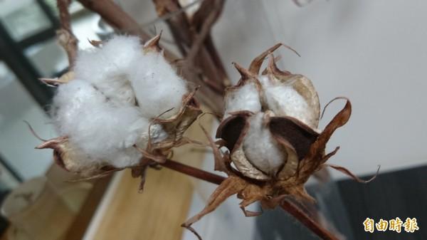 國產棉被面對中國進口品傾銷,台南將軍的棉花種植面積已大不如前。(記者劉婉君攝)