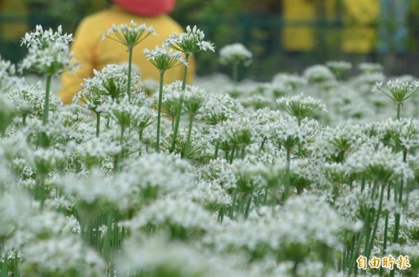 有別於以往的免費入園賞花,今年想看韭菜花田得要收費。(記者許倬勛攝)
