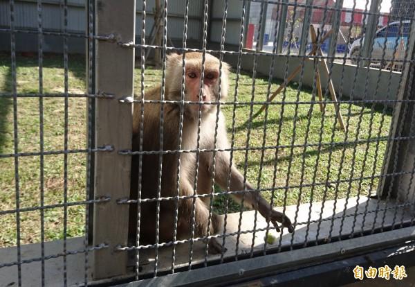 台灣獼猴調整為一般類野生動物後,也不能任意騷擾、虐待、獵捕宰殺。(記者彭健禮攝)