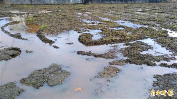 田菁耕鋤後泡水會發酵分解出「氨」,不僅散發濃濃刺鼻味,稻田也可見紅褐色的臭水。(記者張議晨攝)