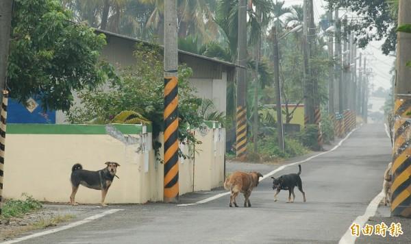 縣府將加強流浪犬捕獲後的結紮工作,避免一再繁衍,抓不勝抓。(記者李立法攝)