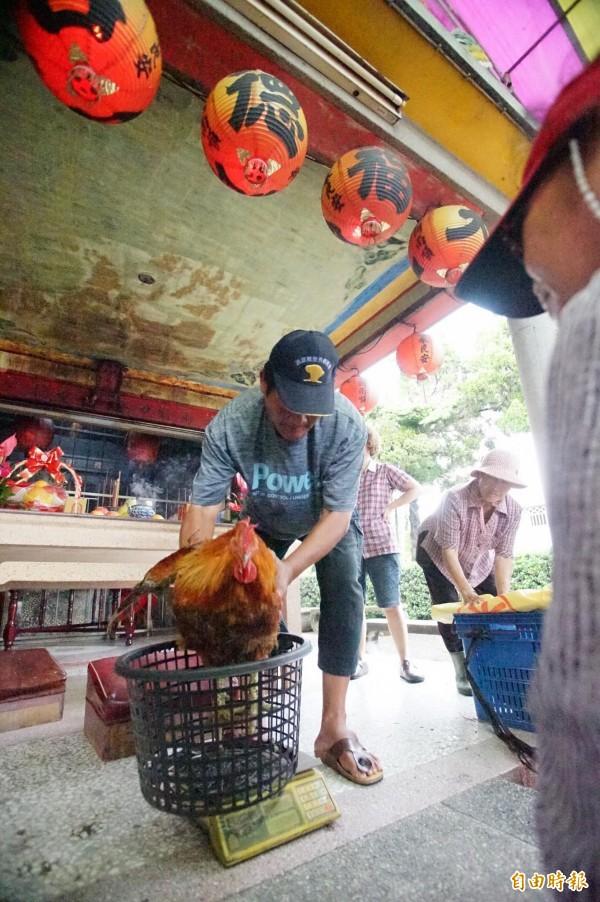 屏東南州大埔福安宮的閹雞比賽,最後由這隻重11.15台斤的閹雞奪冠。(記者陳彥廷攝)