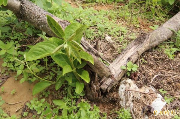 味衛佳柿餅觀光農場主人呂理鑑說,因為天候之故,再加上無暇充分疏果,導致結實纍纍的柿子樹,經不起風力作用,樹幹從中間被硬是掰開。(記者黃美珠攝)