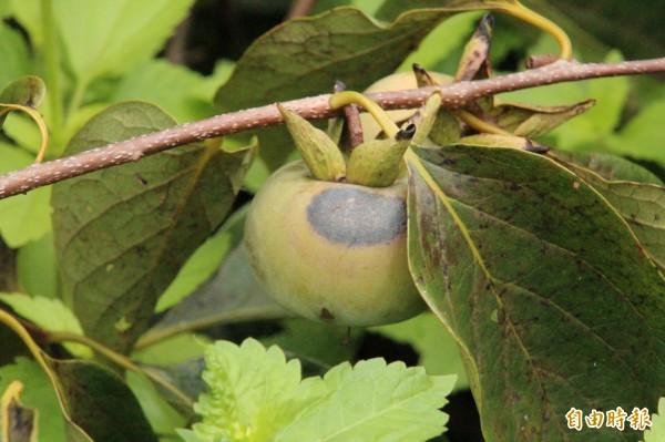 今年強烈的日照,讓很多柿子出現日燒的損害。(記者黃美珠攝)