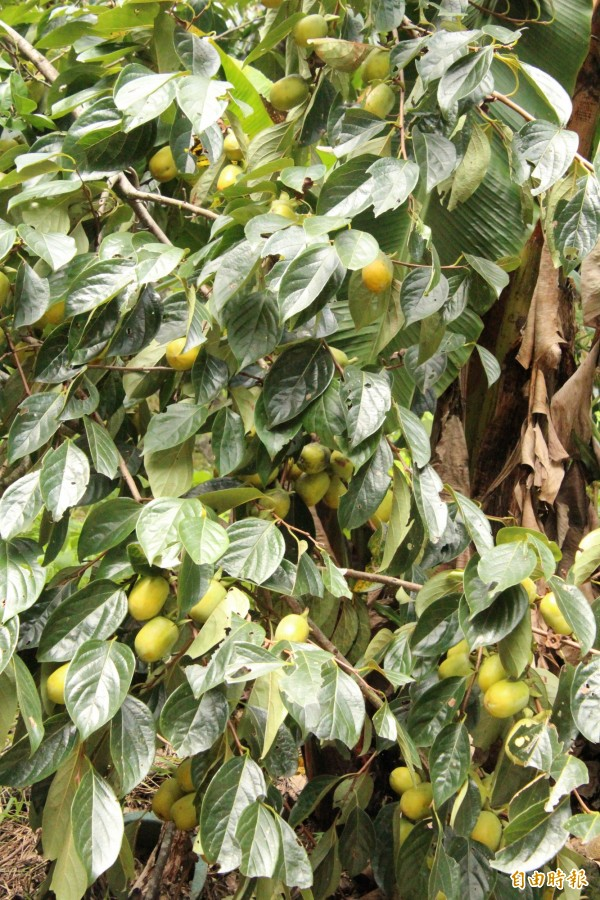 味衛佳柿餅觀光農場主人呂理鑑說,如圖筆柿真正開始轉紅大約在11月末,現在卻因日照過強,缺乏遮蔽的柿子就會出現局部變黃的日燒狀況。(記者黃美珠攝)