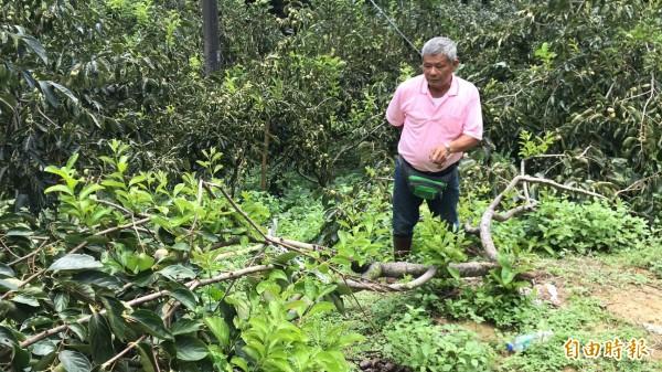 味衛佳柿餅觀光農場主人呂理鑑檢視整個柿子園,發現有多棵柿子樹因為柿子太多,導致樹幹從中被撕裂成兩半倒伏在地。(記者黃美珠攝)