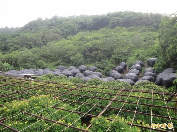 南投信義鄉山區坡地可見群聚巨大「香菇頭」,令路過民眾好奇到底是什麼東西。(記者劉濱銓攝)