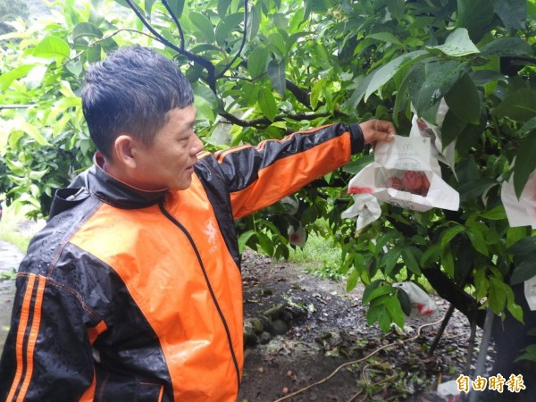 南投信義鄉山區坡地巨大「香菇頭」,其實是蓮霧樹為調整產期才覆上黑網,打開套袋則是一顆顆紅潤蓮霧。(記者劉濱銓攝)