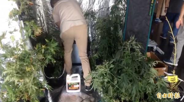 警方起出8株大麻植株。(記者許國楨攝)