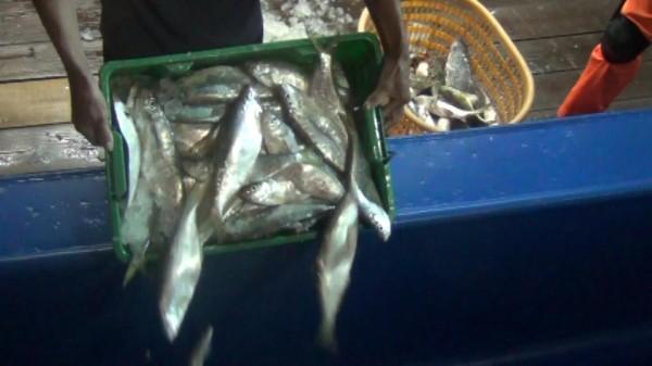 金門海巡隊要求中國漁民將越界捕撈的魚類立刻海拋。(圖由金門海巡隊提供)