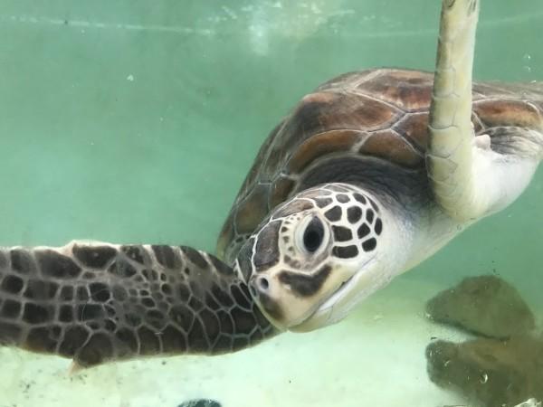 海龜收容中心救回肚子痛海龜。(記者蔡宗憲翻攝)