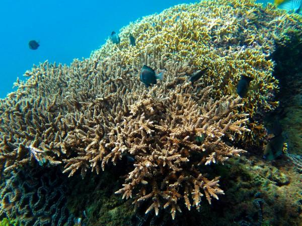 後壁湖海域珊瑚原來的美麗模樣。(記者蔡宗憲翻攝)