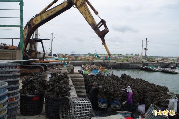 受823豪雨影響,牡蠣產量減少,產地每台斤價格上揚至150元左右。(記者林國賢攝)