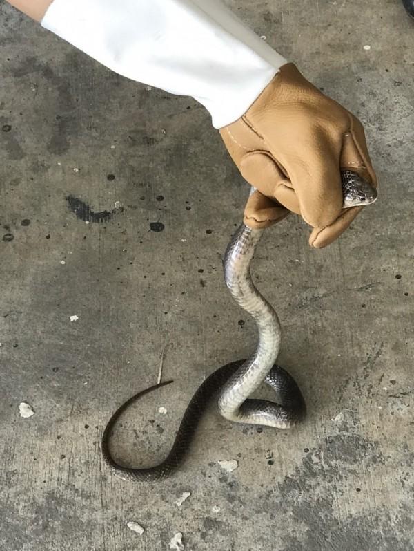 蛇鑽進汽車裡,出動修車廠人員折騰半天才抓到。(陳永聰提供)