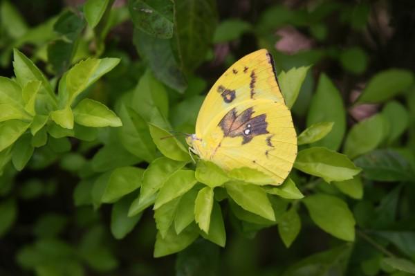 只要15天至20天,遷粉蝶幼蟲就能羽化變態成蝴蝶。(湖埔社區大學提供)