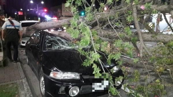 山竹未過境,強陣風造成行道樹倒塌壓覆路樹,民衆驚呼太離譜也心驚驚。(記者陳賢義攝)