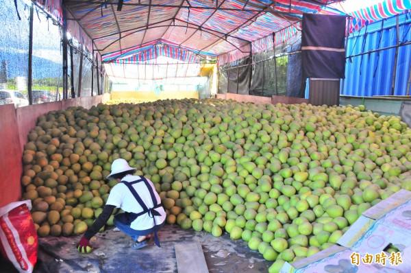 瑞穗鄉柚農吳媽媽倉庫裡還有五、六萬台斤賣不出去,急得發愁。(記者花孟璟攝)