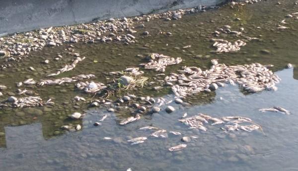 烏日區東園大排昨天傍晚東園里長張有城又發現有大批魚屍,希望環保局揪出元兇。(記者陳建志翻攝)