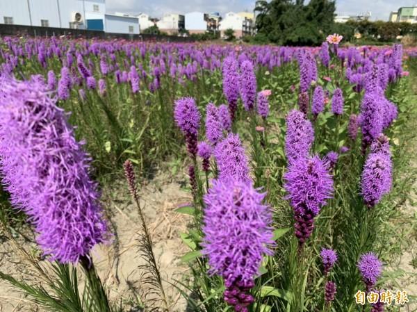花壇鄉三春老樹的紫色麒麟菊盛開,長相奇異被遊客暱稱像一支支雞毛撢。(記者湯世名攝)