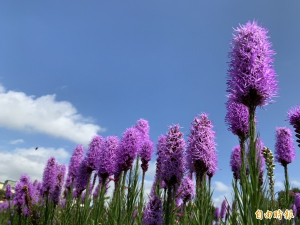 花壇鄉三春老樹的紫色麒麟菊盛開,長相奇異被遊客暱稱像雞毛撢,又像奶瓶刷。(記者湯世名攝)