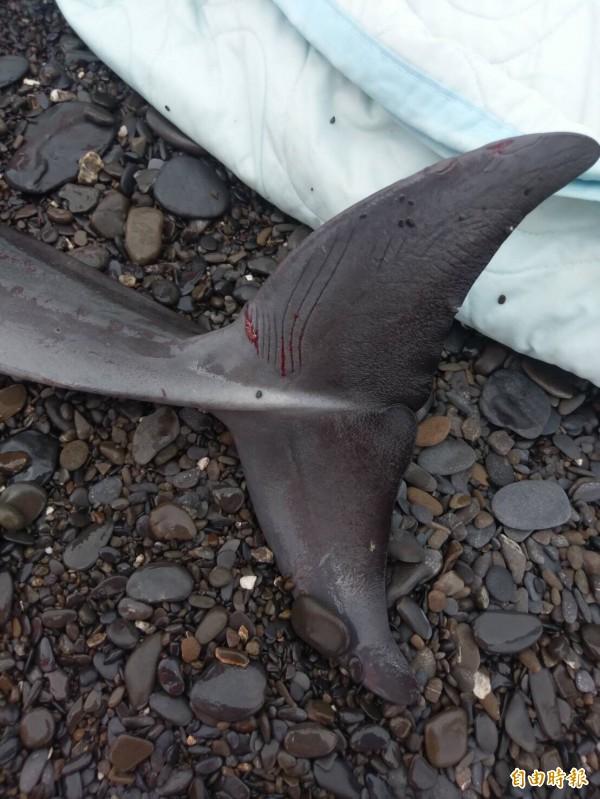 擱淺的弗氏海豚長度僅約百公分,尾部有傷口。(記者陳彥廷攝)