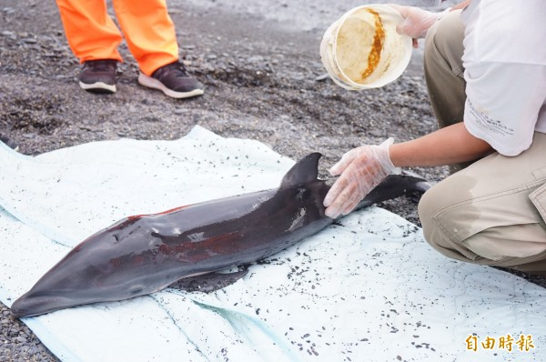 擱淺弗氏海豚長度僅約百公分,仍是非常幼小的海豚。(記者陳彥廷攝)