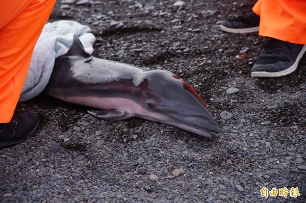 僅約百公分的弗氏海豚今天被人發現擱淺在枋寮保生村海灘,海巡署岸巡第六隊隊員獲報到場搶救。(記者陳彥廷攝)
