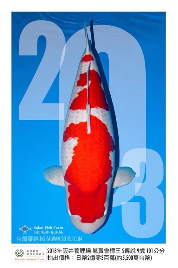 去年全日本錦鯉冠軍,拍賣2億300萬日幣。(欣昌錦鯉場提供)