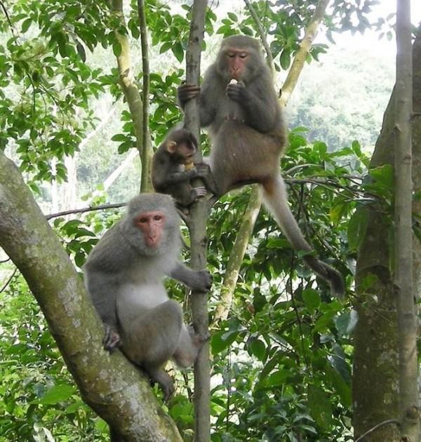 台灣獼猴破壞農作物事件層出不窮,讓農民相當苦惱。(圖:林務局南投林管處提供)