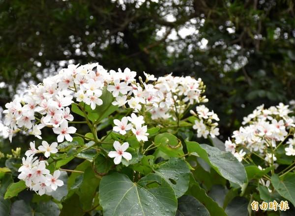 10月也可以賞「5月雪」,中壢樹籽路的油桐花正盛開。(記者李容萍攝)