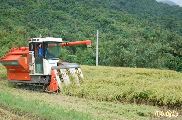 台東縣今年稻作豐收,農民憂心穀倉太滿、無處收購,將影響價格。(記者張存薇攝)